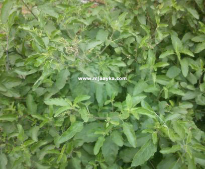 Benefits Of Basil/Tulsi